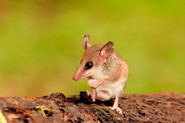 <i>Marmosops sp.</i> Il existe deux espèces d'opossum-souris délicat du genre Marmosops en Guyane: M. pinheiroi et M. parvidens, très difficiles à distinguer dans la nature.