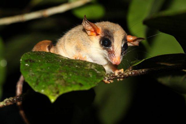 <i>Hyladelphys kalinowskii</i>, l'opossum-souris nain de Kalinowski. Ce magnifique petit opossum tire son nom d'espèce du zoologiste polonais Jan Kalinowski (1860-1942) qui a collecté de nombreux oiseaux et mammifères au Pérou entre 1889 et 1902.