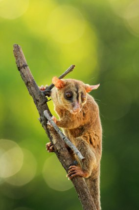 Grand opossum laineux,<i> Caluromys philander.</i> Cette espèce fréquente les parties hautes des arbres, dans tous les types de forêts avec de grands arbres.