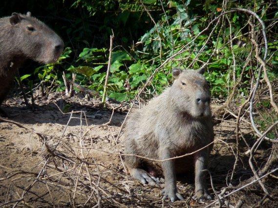 Cabiaï /(<i>Capybara</i>).