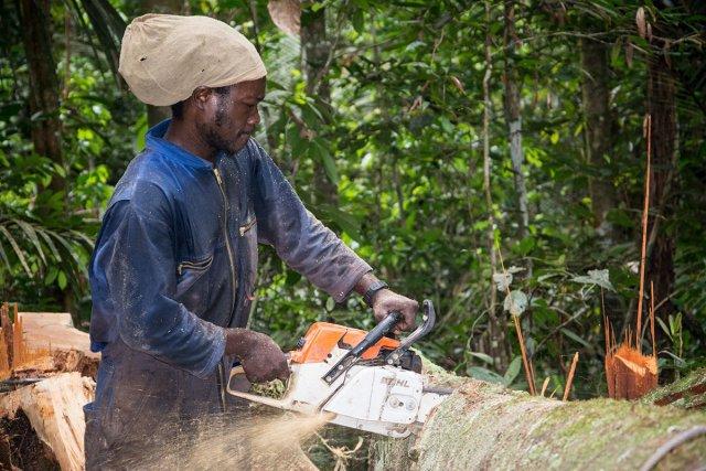 Ouvriers forestiers sur le Maroni abattant, sciant et débitant des arbres en forêt pour obtenir du bois de construction. ici débitage de la grume en billes de bois.