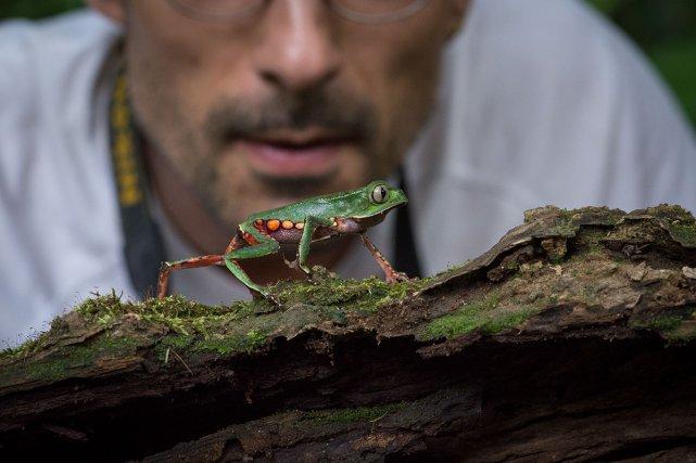 Phylloméduse de Vaillant (Phyllomedusa vaillantii) se déplaçant en bordure de rivière. Grande Waki, Guyane fr. En arrière plan : Jean-Pierre Vacher (herpétologue).
