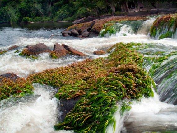 Salade ou herbe coumarou dans les rapides près d'Awarradam. Le poisson éponyme en est très friand. Utilisée comme appât par les pêcheurs locaux.