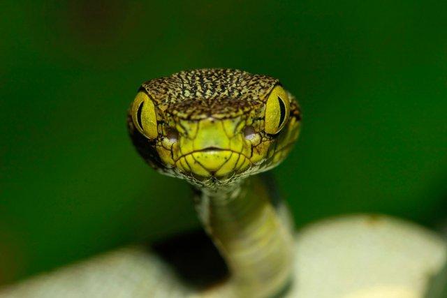 Le jacquot (Bothrox lineatus), une espèce de grage arboricole que l'on peut croiser en forêt guyanaise.