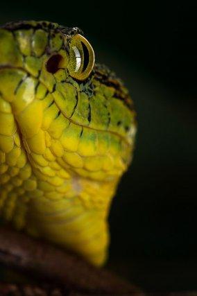 Bothriopsis bilineata. Vipéridé arboricole. Serpent venimeux solénoglyphe, plutôt nocturne. Le venin est hémotoxique, mais la taille assez petite de ce serpent, par rapport à un Bothrops atrox par exemple, fait que les morsures sont généralement moins graves, relativement à la quantité de venin inoculé. Réserve naturelle Trésor.