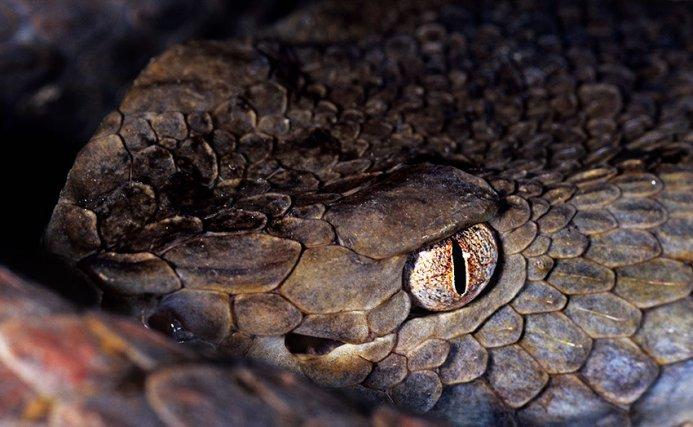 Les fossettes sensorielles se présentent sous la forme d'une petite fosse ressemblant à une narine (Bothrox brazilii).