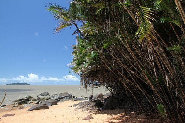 Les zagrinettes (Bactris major), ici sur une plage de Rémire-Montjoly, forment des colonies le long des estuaires amazoniens et guyanais.
