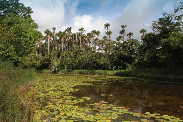Marais Mauritia flexuosa