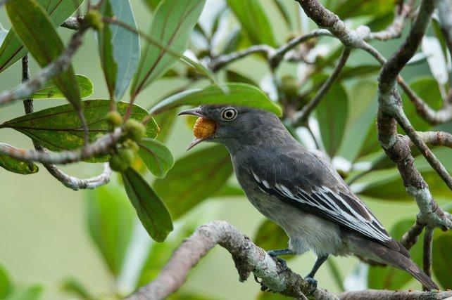 Une femelle de cotinga pompadour <i>(Xypholena punicea)</i> mange un fruit du bagasse. Les plantes n'ont pas besoin d'un partenaire hautement spécialisé pour disperser leurs graines. Dans un seul arbre, les espèces de frugivores sont donc souvent très diversifiées
