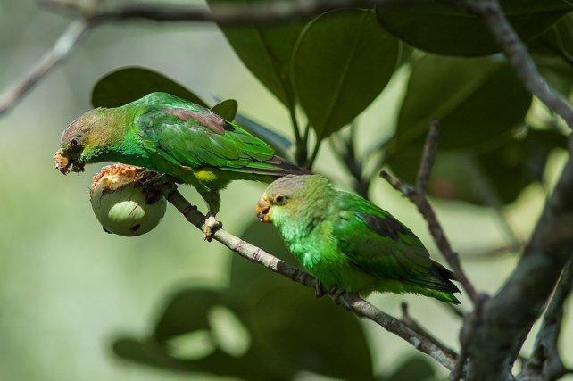 Les Clusias attirent de nombreux oiseaux au moment de leur fructification. Un mâle de guit-guit saï <i>(Cyanerpes cyaneus) </i>mange la pulpe et les graines, après l'ouverture du fruit. Les touis à queue pourprée <i>(Touit purpuratus)</i>, en se nourrissant de fruits avant maturation, sont des prédateurs pour la plante : ils ne participent pas à la dispersion de graines matures.