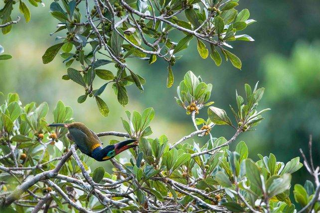 Un toucanet koulik <i>(Selenidera piperivora) </i>se nourrit des fruits d'un bagasse <i>(Bagassa guianensis).  </i>