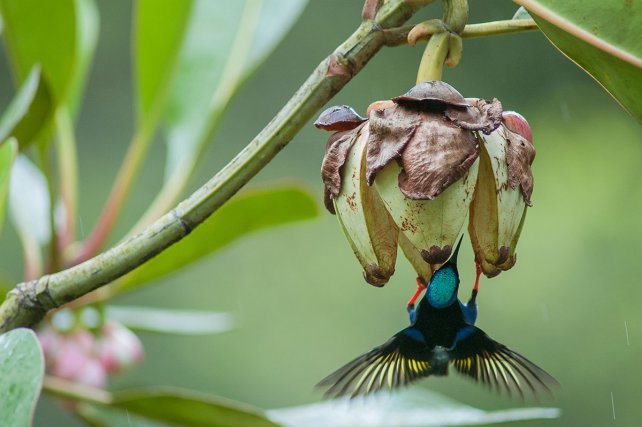 Les Clusias attirent de nombreux oiseaux au moment de leur fructification. Un mâle de guit-guit saï<i> (Cyanerpes cyaneus)</i> mange la pulpe et les graines, après l'ouverture du fruit. Les touis à queue pourprée (Touit purpuratus), en se nourrissant de fruits avant maturation, sont des prédateurs pour la plante : ils ne participent pas à la dispersion de graines matures.