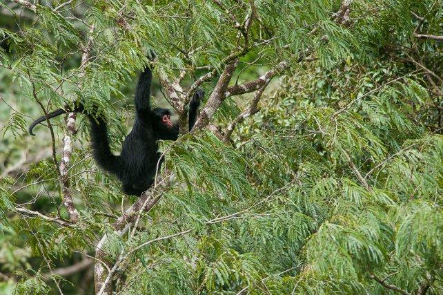 Les singes, comme ce kwata, grands consommateurs de fruits, assurent la dispersion de nombreuses graines. Celle-ci n'est pas homogène, mais dépend de leurs axes de circulation et de leurs sites de repos, où les fèces sont déposées en grand nombre.