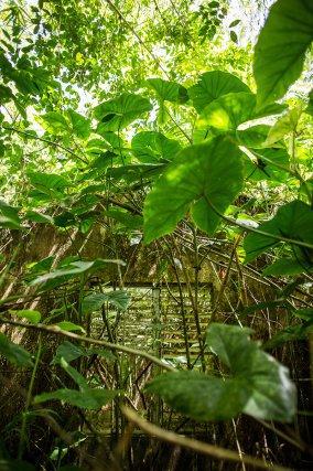 Au milieu des moucou-moucou, près de la rive de l'Approuague, les vestiges d'un édifice. Guizanbourg. Octobre 2014