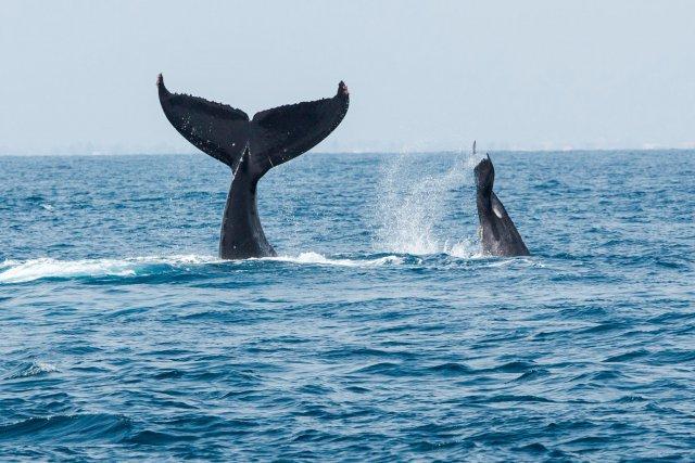 Jeudi 23 octobre 2014. DAKAR. Baleines.