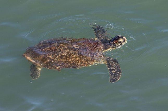Jeune tortue verte<i> (Chelonia mydas)</i> prenant sa respiration dans les eaux des îles du Salut.