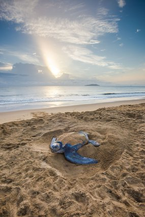 Tortue luth <i> (Dermochelys coriacea)</i> en phase de balayage de départ au petit matin sur la plage des salines de Montjoly.