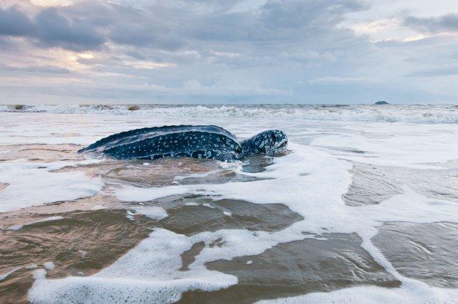 Arrivée pour pondre sur la plage en fin de nuit, cette tortue luth<i> (Dermochelys coriacea) </i>regagne ensuite la mer avec les premières lueurs du jour.