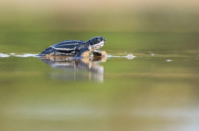 Ce nouveau-né de tortue luth <i>(Dermochelys coriacea) </i>gagne la mer après avoir bataillé pendant plusieurs jours pour émerger du nid.