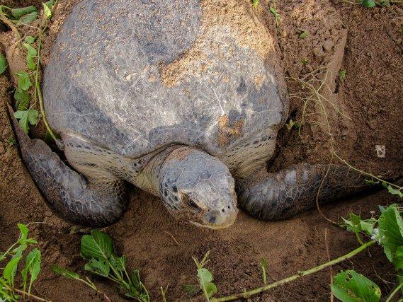 Il n'est pas rare de voir les tortues vertes<i> (Chelonia mydas)</i> pondre dans la végétation de haut de plage, contrairement aux tortues luth.