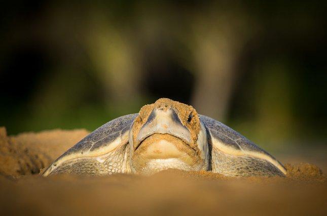Les plages de l'île de Cayenne accueillent chaque année plusieurs milliers de pontes de tortues olivâtres <i>(Lepidochelys olivacea). </i>
