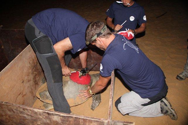 Damien Chevallier (CNRS) et son équipe coordonnent les suivis satellitaires des tortues de Guyane. Ils équipent ici une tortue olivâtre <i>(Lepidochelys olivacea)</i> d'une balise Argos®.