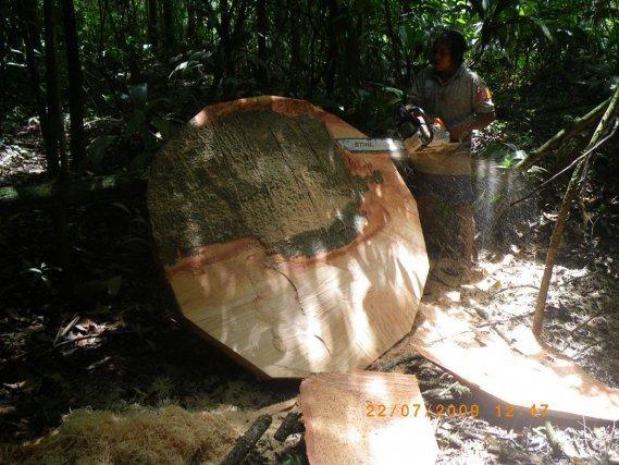 Aïma Opoya, de Taluen, débite et dégrossit un contrefort de fromager qui lui servira à réaliser le maluwana du carbet communautaire.