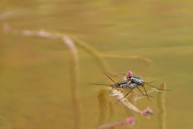Les hétéroptères, souvent pris à tort pour des araignées d'eau, font partie des invertébrés aquatiques. Ces deux Gerridae, en pleine reproduction, évoluent avec aisance à la surface de l'eau grâce à des soies hydrofuges leur permettant d'utiliser la tension superficielle. Les sécrétions de leurs glandes odoriférantes les protègent de la prédation par les poissons.
