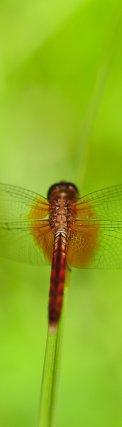 Avant de conquérir le milieu aérien, les libellules ici Tramea calverti,ont passé la majeure partie de leur vie dans le milieu aquatique sous forme larvaire. En Guyane les libellules sont très diversifiées. Près de 250 espèces sont recensées.