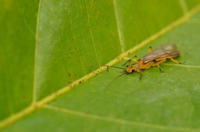 Bien que les plécoptères soient rares en milieu tropical, ils n'en constituent pas moins d'excellents bio-indicateurs. Ils font partie des taxons les plus polluosensibles. En Guyane on ne recense actuellement qu'une seule espèce appartenant à la famille des Perlidae: Anacroneuriapictipes.