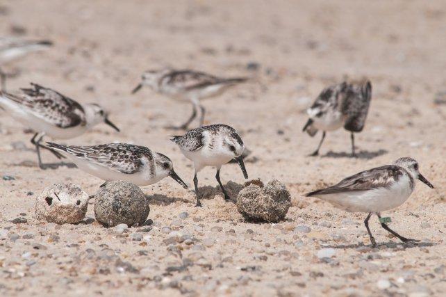 """Des Bécasseaux sanderling mangent des œufs de tortue marine déterrés par un chien. Nicheurs lointains d'Amérique du Nord, ces limicoles fréquentent en nombre les plages et le littoral rocheux de Guyane. L'oiseau de droite, bagué avec un """"flag"""", porte un code lisible de loin, permettant de connaître les étapes de sa migration"""