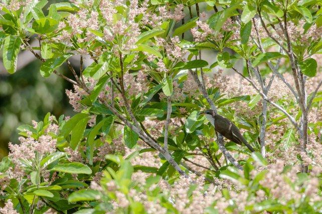 Le Coulicou d'Euler est une espèce encore mal connue. Malgré une observation de nidification en Guyane, la plupart des oiseaux vus sur ce territoire sont des migrateurs austraux, présents en août et septembre, comme cet oiseau posé dans un Sterculia de la forêt des Nouragues.