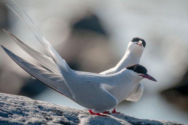 La Sterne arctique est le plus célèbre des migrateurs au long court. Lors de ses va-et-vient entre l'arctique à l'antarctique, elle parcourt annuellement plus de 70 000 kilomètres. Certains individus passent alors au large de la Guyane.