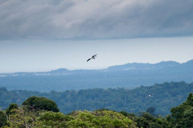 Le Milan à queue fourchue est un migrateur partiel. Nicheur forestier, il est présent toute l'année en Guyane. Mais ses populations augmentent fortement avec l'arrivée de migrateurs plus nordiques lors de l'hiver boréal.