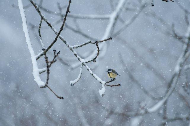 Certaines espèces sédentaires changent de régime alimentaire suivant les saisons, comme cette Mésange charbonnière, espèce commune d'Europe. Essentiellement insectivore l'été, elle diversifie son alimentation pour passer les rigueurs hivernales et se nourrit alors de graines, de fruits ou de petites proies animales.