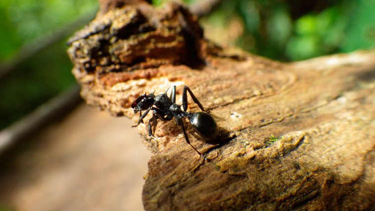 Les bactéries cuticulaires invisibles à l'oeil nu de la fourmi arboricole <i>Cephalotes atratus </i>sont étudiées pour la première fois
