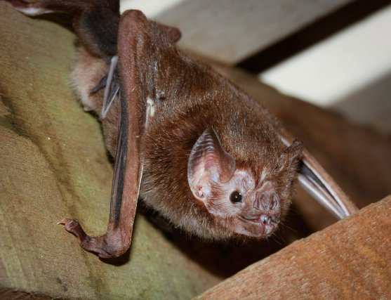 Le Vampire commun <i>(Desmondus rotundus) </i>est une chauve-souris pas si commune en Guyane..