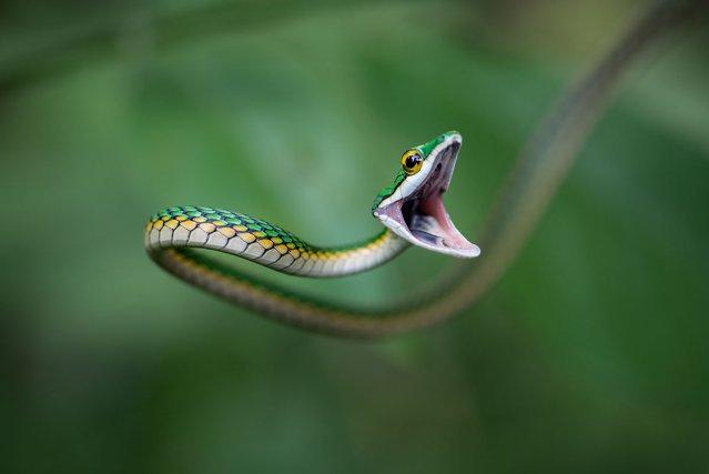 Serpent liane (Leptophis ahaetulla) en position d'intimidation dans la végétation en bord de rivière.