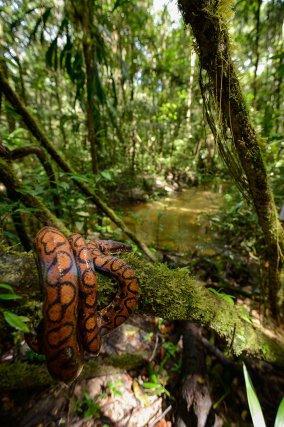 Boa arc-en-ciel au bord d'une petite crique forestière. Guyane fr.