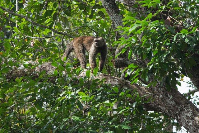 Capucin blanc (Cebus olivaceus) sur une branche surplombant la Grande Waki.