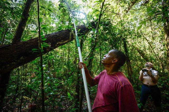 Jean-Louis Smock, de l'Herbier de Guyane, prélève des échantillons à l'aide d'un échenilloire