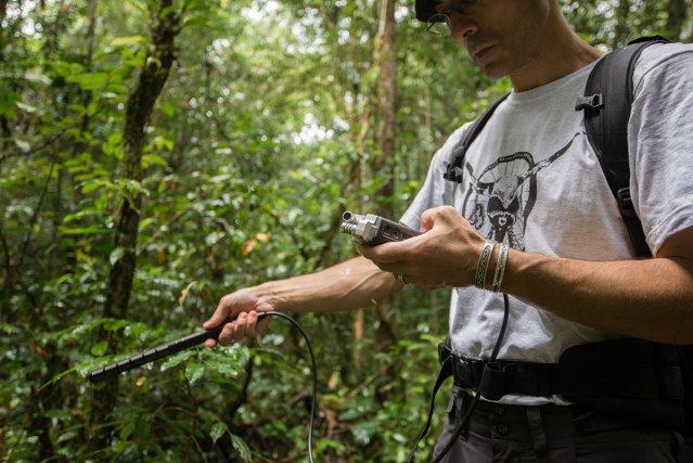 L'herpétologue Jean-Pierre Vacher réalise des enregistrements de chants d'amphibiens pour les identifier.