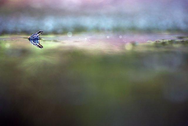 <i>Ranitomeya amazonica</i>est un très petit Dendrobatidae qui affectionne particulièrement les bromeliacées. Après de fortes pluies, il lui arrive cependant d'explorer les alentours, comme ici.