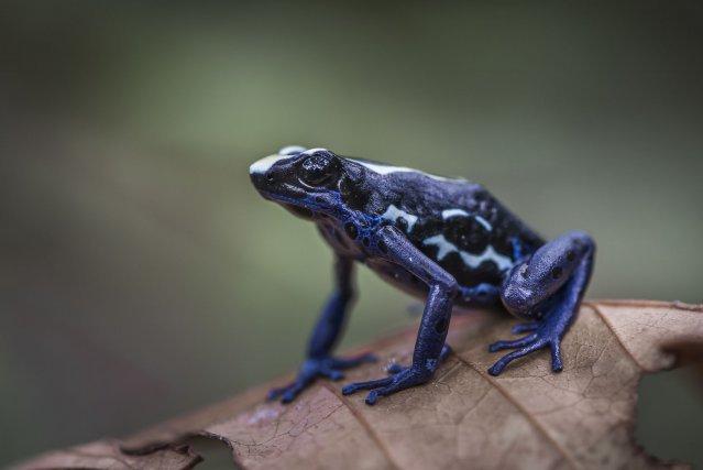Les différentes populations de Dendrobates tinctorius ont des colorations spectaculairement variées. Certaines populations sont noir et bleu d'autres noir et jaune ect. D'ailleurs une espèce du Suriname, Dendrobates azureus, avait été décrite mais n'est en fait qu'une variante très bleue de<i> Dendrobates tinctorius. </i>