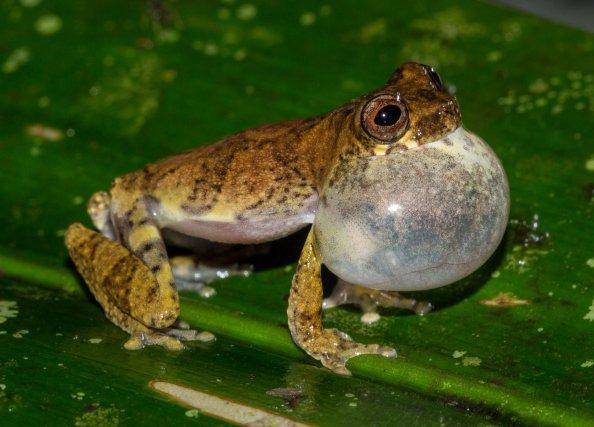 <i>Dendropsophus counani</i> s'époumonant au bord d'une mare forestière temporaire pour attirer une femelle. Photos A. Fouquet