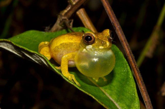 <i>Dendropsophus gaucheri </i>en train de chanter au bord d'une mare. Il s'agit d'une espèce inféodée aux savanes. Elle n'est présente en Guyane que dans la région de Sinnamary.