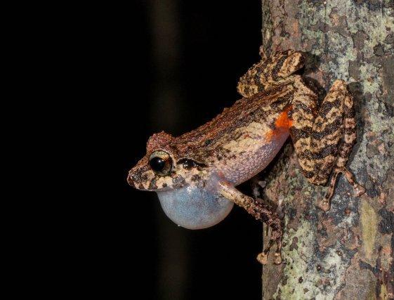<i>Pristimantis espedeus </i>n'émet son chant que pendant environ 30 minutes à la tombée de la nuit. Il se positionne la tête en bas sur les troncs du sous-bois à environ 1,5m du sol. Cette espèce n'est trouvée que sur les plus grands reliefs de Guyane.
