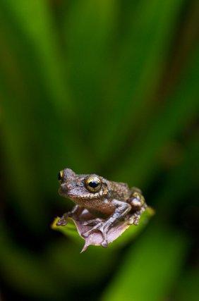 <i>Osteocephalus oophagus</i> perché au bout d'une feuille de broméliacée. Cette espèce se reproduit dans les petites collections d'eau, notamment celles qui se forment au cœur de ces plantes.