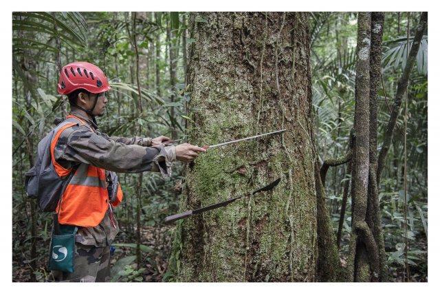 ONF / chantier de designation  dans la forêt de Régina Saint-Georges Pn° HKO 070.