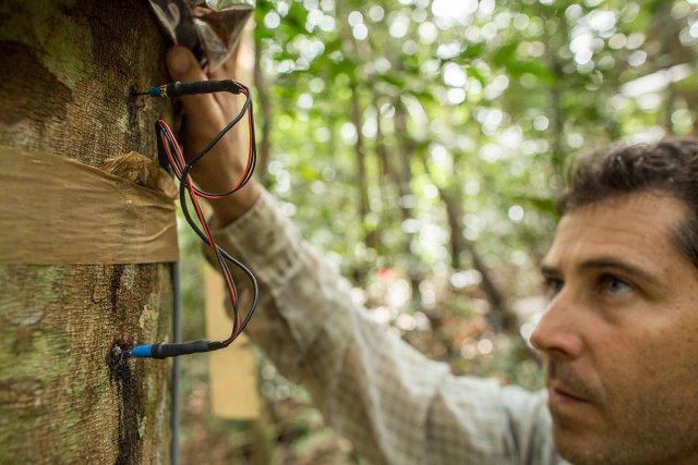à droite - Benoit Burban, technicien à l'INRA, relève les données de circulation de flux de sève de cet arbre, situé sur une parcelle de la station de recherche des Nouragues. Ce projet de recherche cherche à comprendre la réaction des arbres face aux variations de l'humidité et au stress hydrique de la saison sèche.